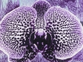 Orchid » Woodcut